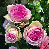 Pierre de Ronsard®,(o Eden Rose®) rosa in vaso di Rose Barni®, pianta rampicante rifiorente a grandi fiori, h.raggiunta 3.5 metri, pianta resistente alle malattie, leggermente profumata, cod.16071