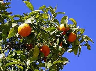 Satsuma Fruit Tree Real Live Plant Citrus 3-6