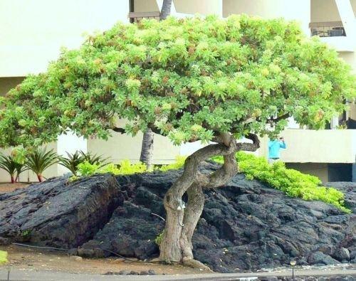 Schefflera Arboricola, Rare Flowering Dwarf Umbrellatree Exotic Bonsai 25 Seeds