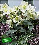 BALDUR Garten Weiße Christrose, 1 Pflanze, blühend im Topf Helleborus, winterhart, Winterblüher