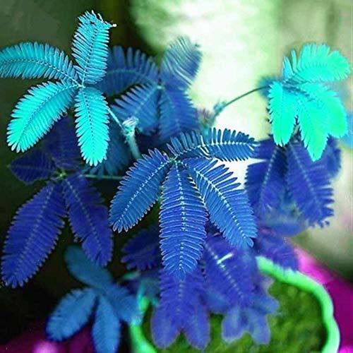 TOYHEART Semillas De Flores De Primera Calidad, 1 Bolsa De Semillas De Mimosa Pudica Semillas De Mimosa Pudica De Alta Tasa De Germinación Natural Para Jardín Azul 20 piezas