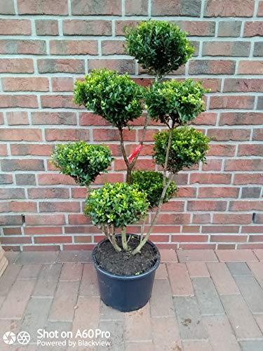 Gartenbonsai, Höhe: 110-120 cm, Ilex crenata Glorie Gem, Bonsai + Dünger