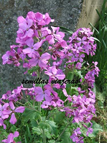 ScoutSeed Lunaria annua, Papageienpflanze, 40 Semillas, Samen, Körner, Samen