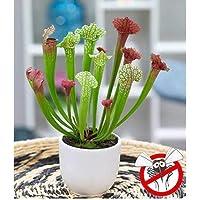 Beautytalk Jardín-50 piezas de Dionaea, trampa de mosca azul Venus, semillas raras de Dionaea Muscipula Plantas carnívoras para balcón y terraza