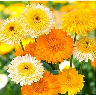 Tomasa Samenhaus- 100 Stück Winterharte Calendula Ringelblume Prachtmischung Echte Ringelblume - gefüllte,tief orange Blüten Blumensamen bienenfreundlich