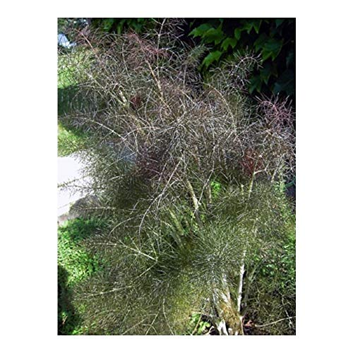 PREMIER SEEDS DIRECT - HERB- Fennel - Bronze - FOENICULUM PURPUREUM - 500 Seeds