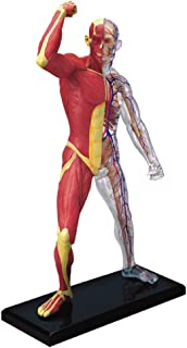 Best muscles anatomy model Reviews