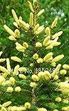 3: 60 Unids Japón Abeto Picea Bonsai Árboles, Planta trepadora Perenne Árbol de hoja perenne Semillas de Bonsai Hogar Jardín Planta Maceta Macetas