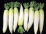 RWS 100 semillas Semillas de rábano japonés, rábano daikon, rábano gigante, Invierno rábano