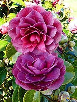 Vistaric 100% de vraies graines de camélia, (camellia japonica), graines de fleurs de bonsaï en pot de plantes d'extérieur en pot de bricolage pour la maison jardin 5 pcs/sac 12