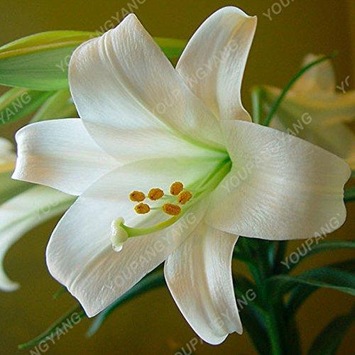 100/sac blanc péruvien Lily Graines péruvienne Lily Mix (Alstroemeria) Graines de fleurs vivaces pure Bonsai plantes pour jardin Rose