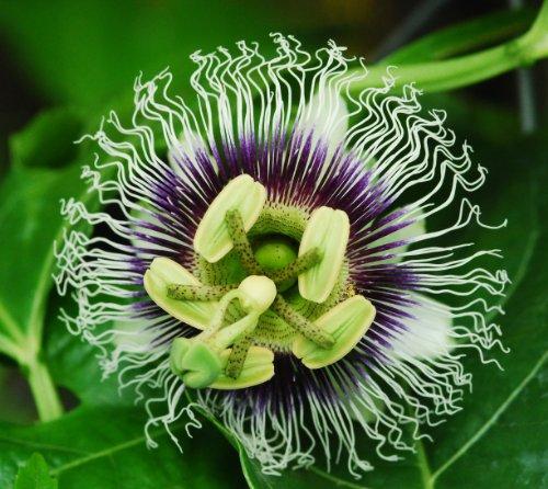 Maracuja Passionsfrucht - 10 Samen - Passiflora edulis f. flavicarpa