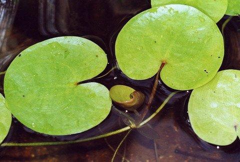 WFW wasserflora Europäischer Froschbiss/Hydrocharis morsus-Ranae