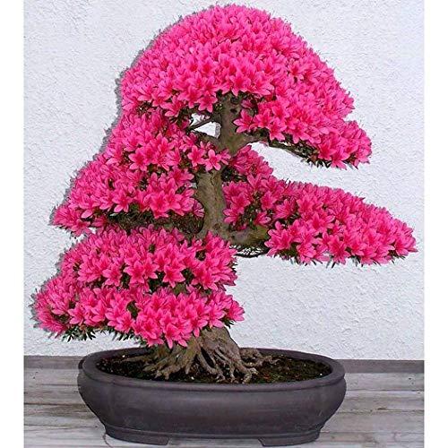 Xianjia Garten - 10 PCS Bonsai-Bäumen Samen selten japanischen Sakura-Samen Bonsai-Blume Kirschblüten Mischfarbe Garten mehrjährig winterhart Topfpflanzen (11)