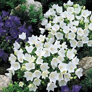 campanula white clips perennials