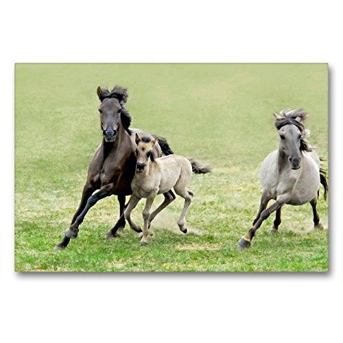 CALVENDO Premium Textil-Leinwand 90 x 60 cm Quer-Format Dülmener Wildpferde Stute mit ihrem Fohlen im Galopp, Leinwanddruck von Katho Menden