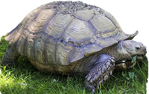 African Grasses Tortoise Blend - ST24 Leopard 2 Grass Sale item low-pricing Sulcata