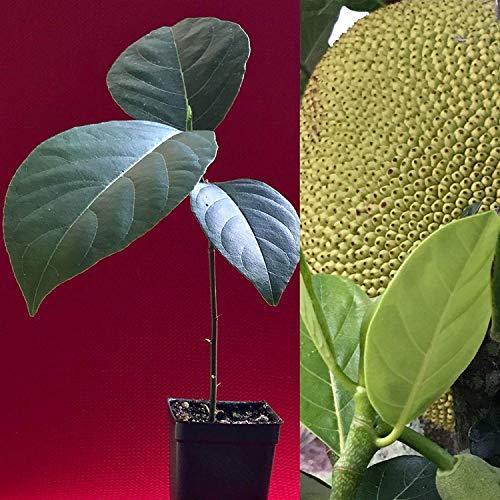 vegherb Jackfrucht Artocarpus Heterophyllus Jack Fruit Sämling Pflanze Baum 8-13