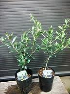 ベルガモット 苗木