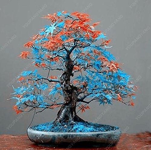 50 semillas / paquete del arco iris raras hermosas plantas Japón Bonsai nuevas semillas Jardín Seguir Bonsái regalo de arce japonés rojo Semillas