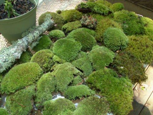 Appalachian Emporium's Premium Super Mix Fresh Live Moss for Terrariums, Vivariums, Bath Mats