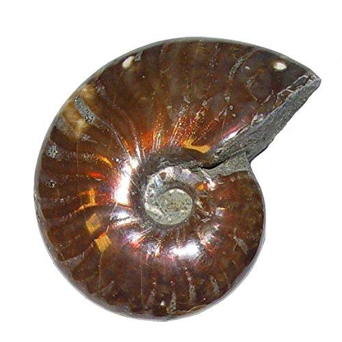 Ammonit Cleoniceras Fossil ca. 100 Millionen Jahre alt ca. 35-38 mm opalisierend
