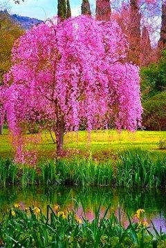 10pcs / sac japonais graines d'arbres sakura bonsaïs, arbres de cerisier pleureur, bricolage jardin graines nain sakura belles graines de fleurs 3