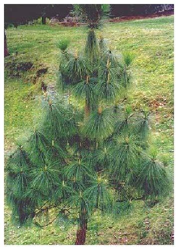 TROPICA - Langnadelige Himalaya Kiefer (Pinus roxburghii syn. Pinus longifolia) - 35 Samen