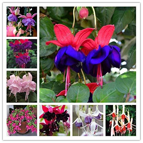 Kalash New 50pcs Fuchsia Blumensamen für Garten Mixed