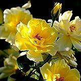 Poseca 10/50/100 Graines de fleurs d'été Jaune Pivoine graines de roses gélules de jardinage Fleurs plantation