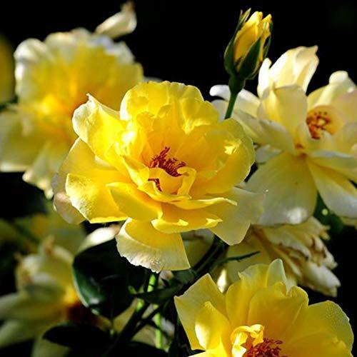 Poseca 10/50/100 Samen Sommerblumen Gelb Pfingstrosen Rosen Kapseln Gartenarbeit Blumen Pflanzen 50 Samen