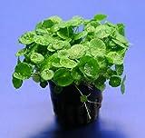 *WFW wasserflora Amerikanischer Wassernabel/Hydrocotyle verticillata