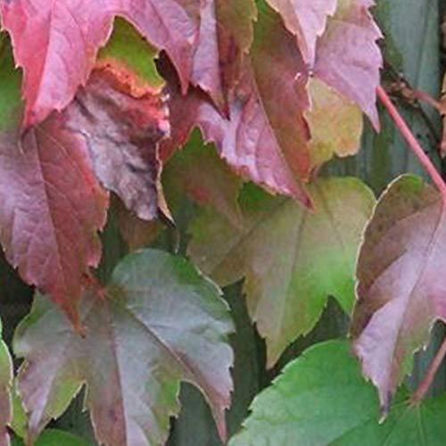 Parthenocissus Tricuspidata ' Veitchii' - Selbstklimmer Wein 60-80 cm Pflanzcontainer