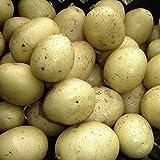 Potato Rocket Solanum tuberosum Tender tubers 1Kg, Easy to Grow by Thompson and Morgan (1)