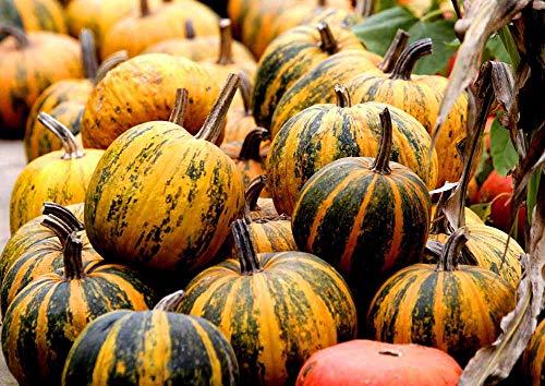 Yukio Samenhaus - 10pcs Rarität Ölkürbis Olga Premium-Kürbis Zierkürbis Grün-gelb Gemüsesamen winterhart mehrjährig als Topping auf Salat und Suppe
