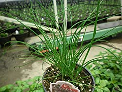 "LIVE Chives Herb Plant - Organic NON-GMO - 2 (TWO) Plants Fit 3.5"" Pot"