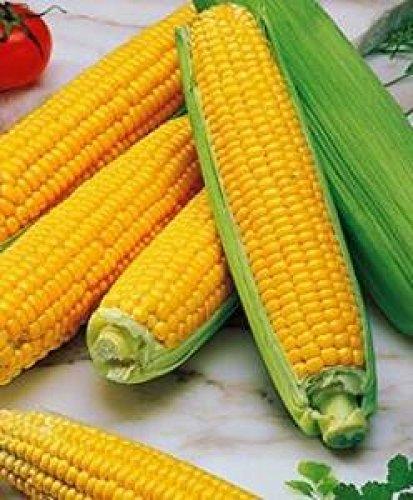 10 Graines semence maïs sucre d'ornement jaune potager /semences /fleurs