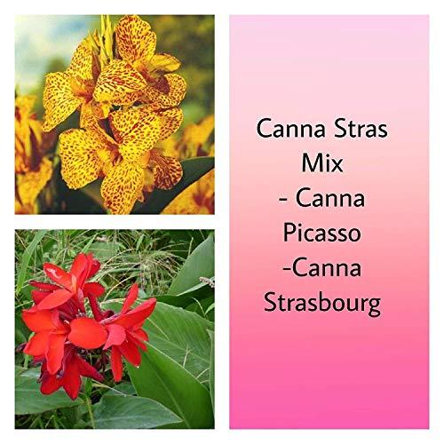 Samen-Paket: Canna Stras Mix (2 / Rhizome / 2-3 Augen) kommt vorwärts, in Hitze und Feuchtigkeit