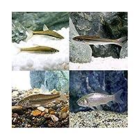 (淡水魚)生餌 エサ用川魚 Sサイズ(50匹)
