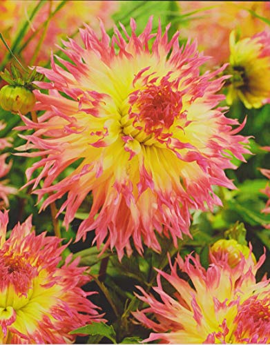 Hirschgeweih Dahlie großblumig Hapet Perfect Knolle Blumenzwiebel (1 Dahlie (Wurzelstock))