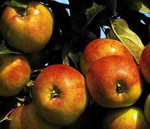 Apfel Roter Gravensteiner Busch im 7,5 l Topf, 60 cm Stammhöhe