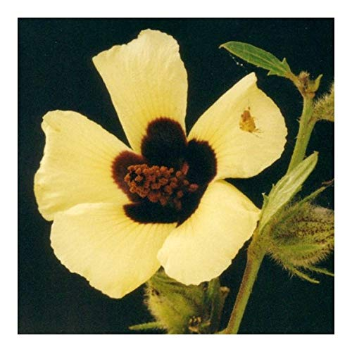 Hibiscus diversifolius - marécage hibiscus - hibiscus jaune - 10 graines