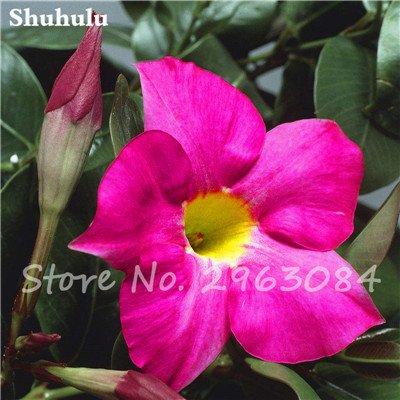 50 PC / bolso raras semillas dipladenia sanderi trepadora perenne Mandevilla Sanderi flor ornamental exterior Bonsai Garden Planta 8