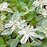 Benoon Semillas De Euphorbia Marginata, 50 Piezas/Bolsa Semillas De Euphorbia Marginata Semillas Decorativas Semi-perennes Semillas De Jardín Fantásticas Semilla