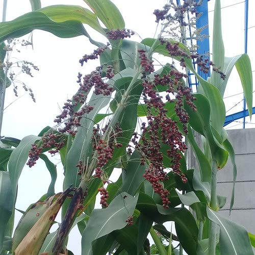 Plant World Seeds - Sorghum Bicolor Seeds