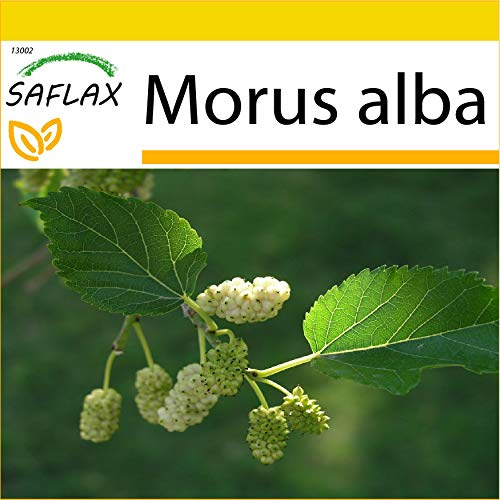 SAFLAX - Kit de culture - Mûrier blanc - 200 graines - Morus alba