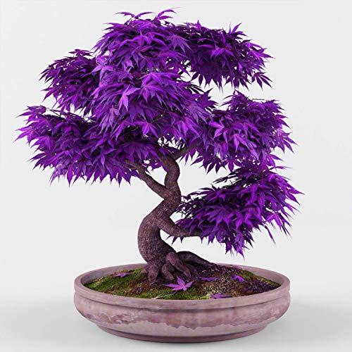 Rare Purple Maple Bonsai 10 Pcs Seeds Ornamental Plants Garden Hardy Outdoor Decoration