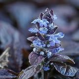 Blumixx Stauden Ajuga reptans 'Braunherz' - Günsel, im 0,5 Liter Topf, blauviolett blühend