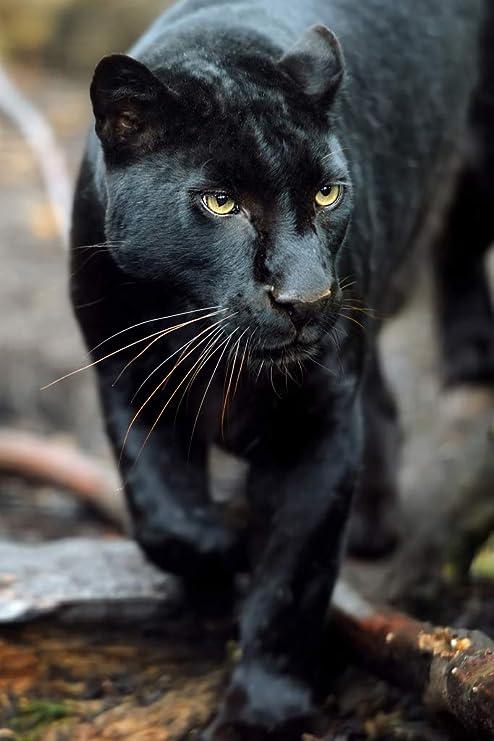 Black Leopard Wild Cat Animal Puma Jaguar Jungle Portrait Photo Cool Wall Decor Art Print Poster 12x18