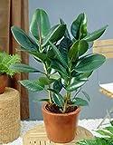 5 Semillas Ficus Elastica Árbol de goma (caucho) de la planta de fácil Cuidado de la Planta de interior